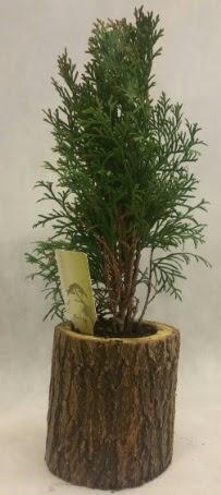 SINIRLI STOK Selvi Bonsai Doğal kütükte  Aksaray İnternetten çiçek siparişi