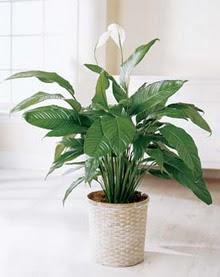 Aksaray online çiçek gönderme sipariş  spatilyum ithal büyük boy