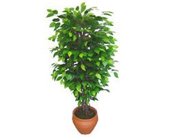 Ficus Benjamin 1,50 cm   Aksaray anneler günü çiçek yolla