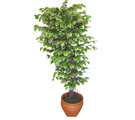 Ficus özel Starlight 1,75 cm   Aksaray cicek , cicekci