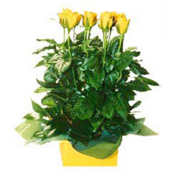 11 adet sari gül aranjmani  Aksaray online çiçekçi , çiçek siparişi