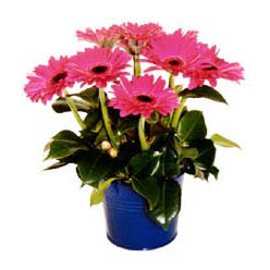 vazo içerisinde gerbera çiçekleri   Aksaray online çiçek gönderme sipariş