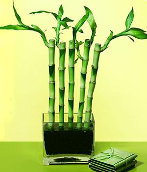 Aksaray anneler günü çiçek yolla  Good Harmony Lucky Bamboo camda