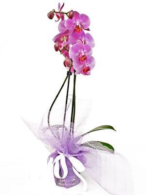 Aksaray anneler günü çiçek yolla  Kaliteli ithal saksida orkide