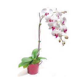 Aksaray çiçek gönderme  Saksida orkide