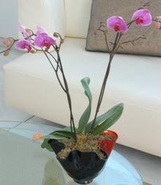 Aksaray çiçekçi mağazası  tek dal ikili orkide saksi çiçegi