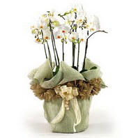 Aksaray çiçek siparişi sitesi  3 dal orkide , saksi çiçegi , 3 kök orkide