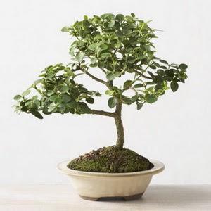 ithal bonsai saksi çiçegi  Aksaray çiçek online çiçek siparişi