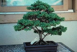 ithal bonsai saksi çiçegi  Aksaray 14 şubat sevgililer günü çiçek