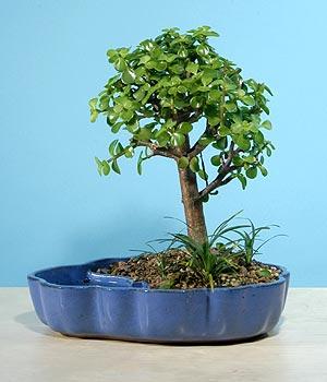 ithal bonsai saksi çiçegi  Aksaray çiçekçiler