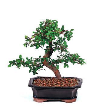 ithal bonsai saksi çiçegi  Aksaray çiçek siparişi vermek