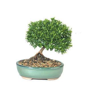 ithal bonsai saksi çiçegi  Aksaray cicekciler , cicek siparisi