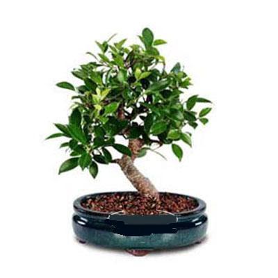 ithal bonsai saksi çiçegi  Aksaray çiçek siparişi sitesi