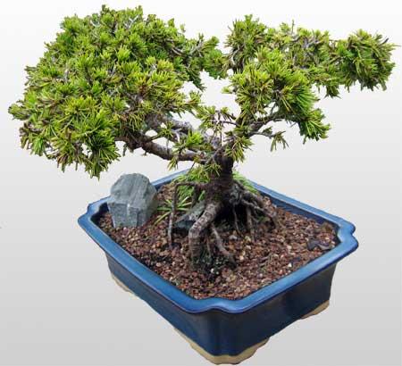 ithal bonsai saksi çiçegi  Aksaray çiçekçi mağazası