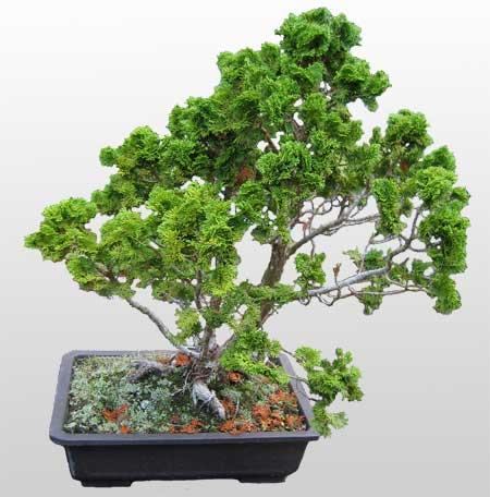 ithal bonsai saksi çiçegi  Aksaray İnternetten çiçek siparişi