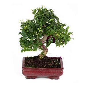 ithal bonsai saksi çiçegi  Aksaray anneler günü çiçek yolla