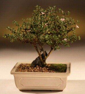 ithal bonsai saksi çiçegi  Aksaray çiçek mağazası , çiçekçi adresleri