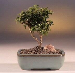 Aksaray çiçek yolla  ithal bonsai saksi çiçegi  Aksaray internetten çiçek satışı