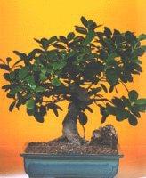 Aksaray çiçekçi telefonları  ithal bonsai saksi çiçegi  Aksaray internetten çiçek siparişi
