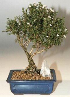 Aksaray çiçek , çiçekçi , çiçekçilik  ithal bonsai saksi çiçegi  Aksaray online çiçek gönderme sipariş