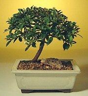 Aksaray ucuz çiçek gönder  ithal bonsai saksi çiçegi  Aksaray cicek , cicekci