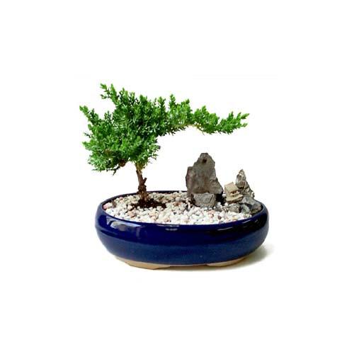 ithal bonsai saksi çiçegi  Aksaray çiçek gönderme
