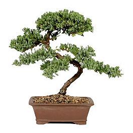 ithal bonsai saksi çiçegi  Aksaray çiçek gönderme sitemiz güvenlidir