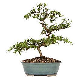 Aksaray İnternetten çiçek siparişi  ithal bonsai saksi çiçegi  Aksaray çiçek gönderme sitemiz güvenlidir