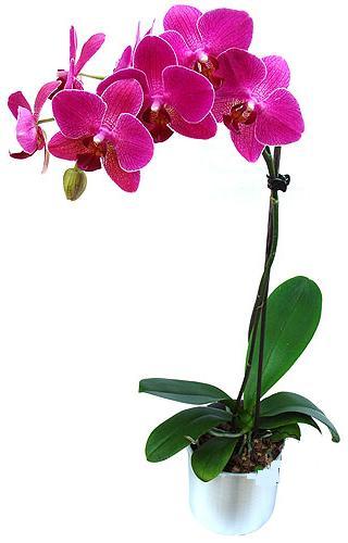 Aksaray çiçekçi mağazası  saksi orkide çiçegi