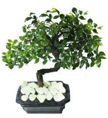 9 yasinda Bonsai agaci  Aksaray yurtiçi ve yurtdışı çiçek siparişi