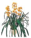Aksaray çiçekçiler  Orchiede ithal büyük boy saksi