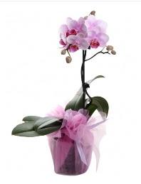 1 dal pembe orkide saksı çiçeği  Aksaray kaliteli taze ve ucuz çiçekler