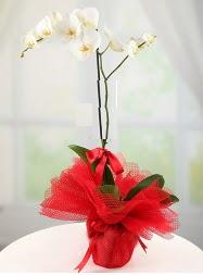 1 dal beyaz orkide saksı çiçeği  Aksaray yurtiçi ve yurtdışı çiçek siparişi