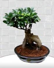 saksı çiçeği japon ağacı bonsai  Aksaray kaliteli taze ve ucuz çiçekler