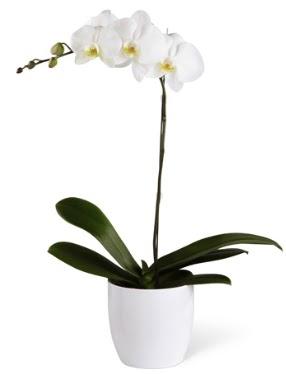 1 dallı beyaz orkide  Aksaray 14 şubat sevgililer günü çiçek