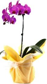Aksaray çiçek siparişi sitesi  Tek dal mor orkide saksı çiçeği