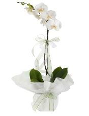 1 dal beyaz orkide çiçeği  Aksaray çiçek siparişi vermek