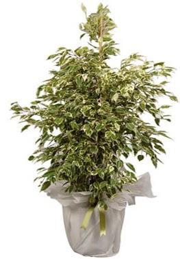 Orta boy alaca benjamin bitkisi  Aksaray internetten çiçek satışı