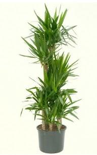 7 li yucca saksı bitkisi  Aksaray çiçek servisi , çiçekçi adresleri
