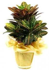Orta boy kraton saksı çiçeği  Aksaray 14 şubat sevgililer günü çiçek