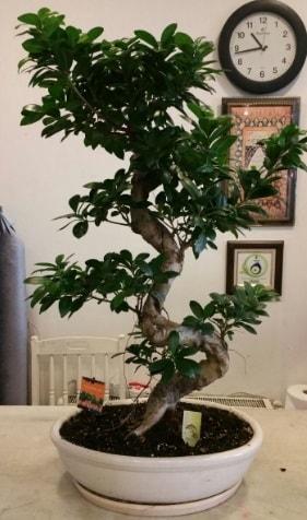 100 cm yüksekliğinde dev bonsai japon ağacı  Aksaray İnternetten çiçek siparişi