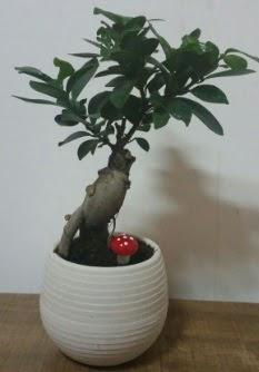 Bonsai japon ağacı saksı çiçeği  Aksaray çiçek gönderme sitemiz güvenlidir
