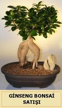 İthal Ginseng bonsai satışı japon ağacı  Aksaray çiçek siparişi sitesi