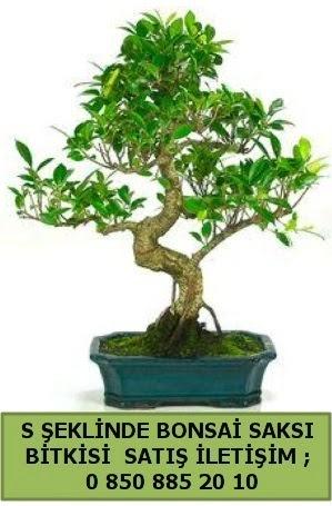 İthal S şeklinde dal eğriliği bonsai satışı  Aksaray çiçek gönderme