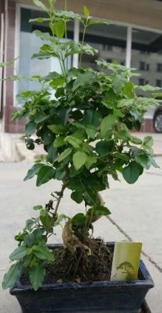 Bonsai japon ağacı saksı bitkisi  Aksaray çiçek siparişi vermek