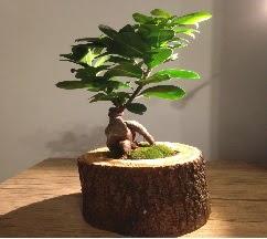 Doğal kütükte Bonsai japon ağacı satışı  Aksaray internetten çiçek satışı