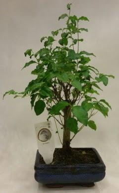 Minyatür bonsai japon ağacı satışı  Aksaray çiçekçi telefonları