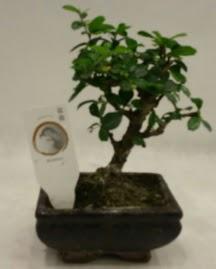 Küçük minyatür bonsai japon ağacı  Aksaray çiçek gönderme