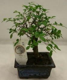 Minyatür ithal japon ağacı bonsai bitkisi  Aksaray çiçek satışı
