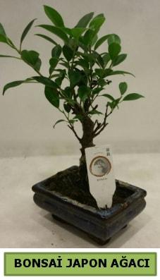 Bonsai japon ağacı saksı bitkisi  Aksaray çiçek servisi , çiçekçi adresleri